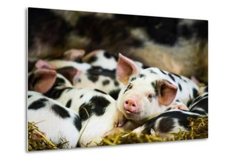 Piglets in Gloucestershire, England, United Kingdom, Europe-John Alexander-Metal Print
