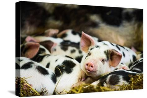 Piglets in Gloucestershire, England, United Kingdom, Europe-John Alexander-Stretched Canvas Print