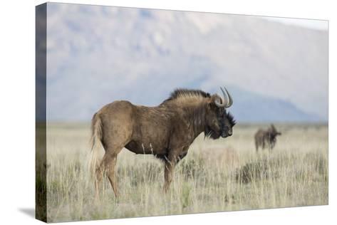 Black Wildebeest (Connochaetes Gnou), Mountain Zebra National Park, South Africa, Africa-Ann & Steve Toon-Stretched Canvas Print