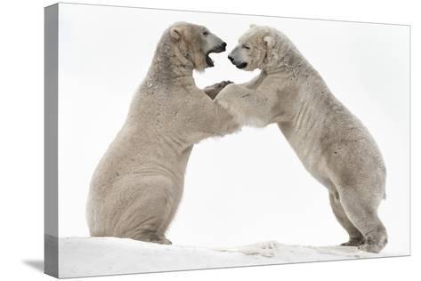 Polar Bear (Ursus Maritimus) Males Playfighting, Scotland-Ann & Steve Toon-Stretched Canvas Print