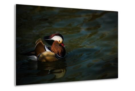 The Mandarin Duck (Aix Galericulata), United Kingdom, Europe-John Alexander-Metal Print