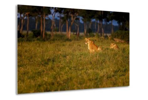 Lions (Panthera Leo) Resting at Sunrise, Masai Mara, Kenya, East Africa, Africa-Andrew Sproule-Metal Print
