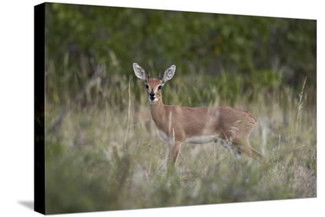 Steenbok (Raphicerus Campestris) Buck, Kruger National Park, South Africa, Africa-James Hager-Stretched Canvas Print