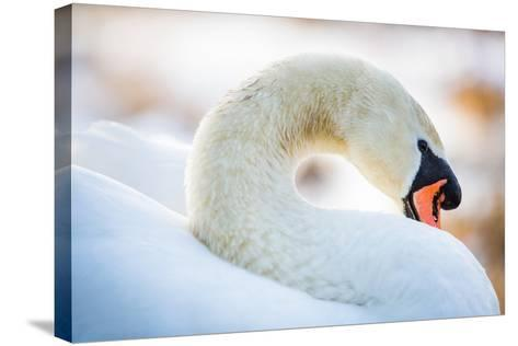 Swan in the Morning Light, United Kingdom, Europe-John Alexander-Stretched Canvas Print