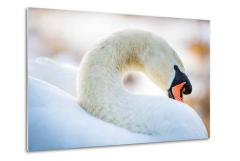 Swan in the Morning Light, United Kingdom, Europe-John Alexander-Metal Print