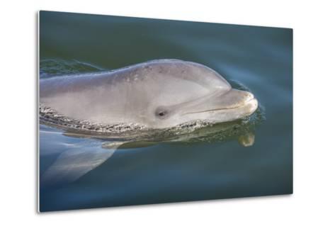 Bottlenose Dolphin, Tursiops Tursiops, Grassy Key, Florida, United States of America, North America-Michael Runkel-Metal Print