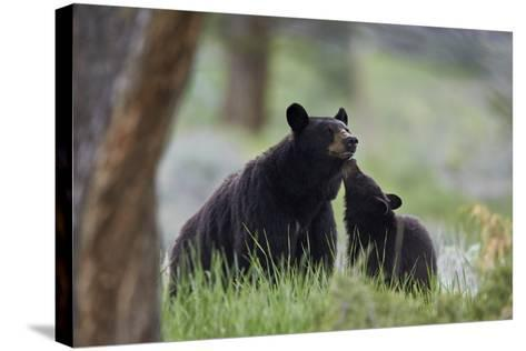 Black Bear (Ursus Americanus), Sow and Yearling Cub, Yellowstone National Park, Wyoming, U.S.A.-James Hager-Stretched Canvas Print