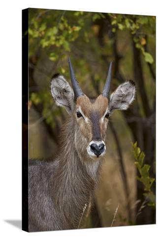 Common Waterbuck (Kobus Ellipsiprymnus Ellipsiprymnus), Kruger National Park, Africa-James Hager-Stretched Canvas Print