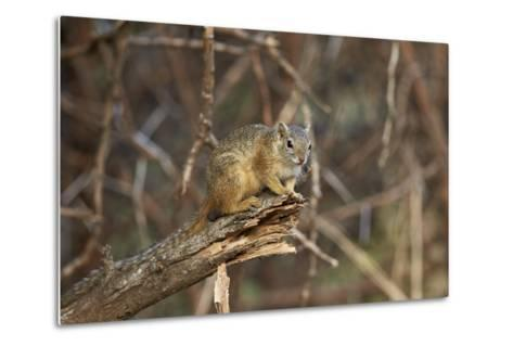 Tree Squirrel (Smith's Bush Squirrel) (Yellow-Footed Squirrel) (Paraxerus Cepapi), Africa-James Hager-Metal Print