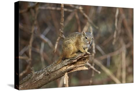 Tree Squirrel (Smith's Bush Squirrel) (Yellow-Footed Squirrel) (Paraxerus Cepapi), Africa-James Hager-Stretched Canvas Print