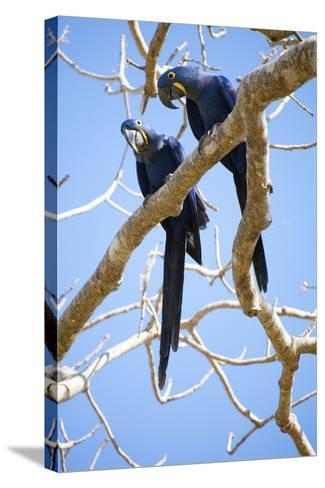 Hyacinth Macaws (Anodorhynchus Hyacinthinus), Mato Grosso Do Sul, Brazil, South America-Alex Robinson-Stretched Canvas Print