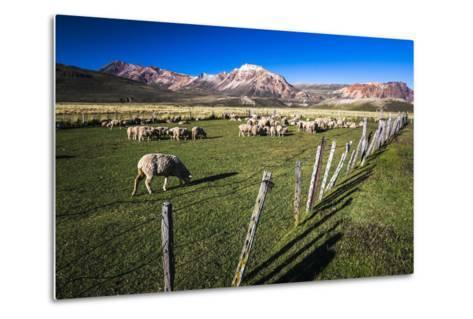 Sheep on the Farm at Estancia La Oriental, Argentina-Matthew Williams-Ellis-Metal Print