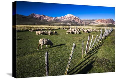 Sheep on the Farm at Estancia La Oriental, Argentina-Matthew Williams-Ellis-Stretched Canvas Print