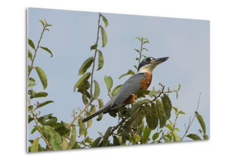 Ringed Kingfisher (Ceryle Torquata), Pantanal, Mato Grosso, Brazil, South America-G&M Therin-Weise-Metal Print