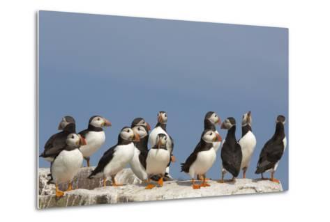 Puffin (Fratercula Arctica), Farne Islands, Northumberland, England, United Kingdom, Europe-Ann & Steve Toon-Metal Print