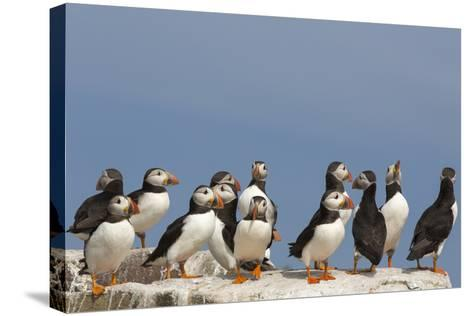 Puffin (Fratercula Arctica), Farne Islands, Northumberland, England, United Kingdom, Europe-Ann & Steve Toon-Stretched Canvas Print