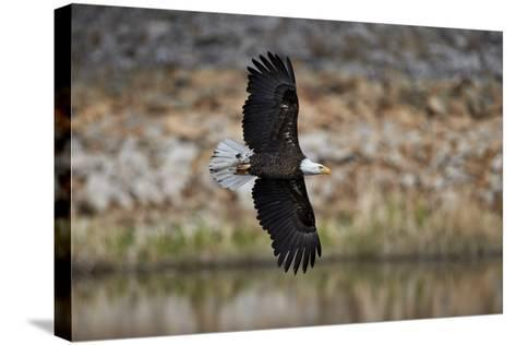 Bald Eagle (Haliaeetus Leucocephalus) in Flight, Yellowstone National Park, Wyoming, U.S.A.-James Hager-Stretched Canvas Print