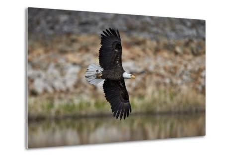 Bald Eagle (Haliaeetus Leucocephalus) in Flight, Yellowstone National Park, Wyoming, U.S.A.-James Hager-Metal Print