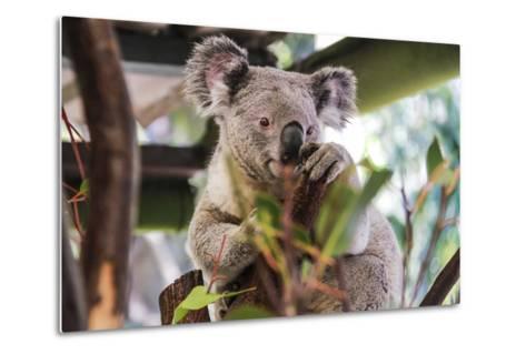 Beautiful and Awake Koala, Queensland, Australia, Pacific-Noelia Ramon-Metal Print