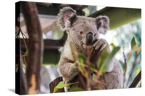 Beautiful and Awake Koala, Queensland, Australia, Pacific-Noelia Ramon-Stretched Canvas Print