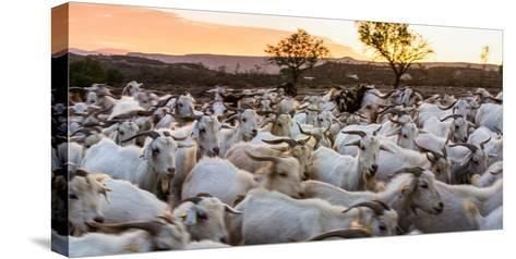 Goats in Andalucia, Spain, Europe-John Alexander-Stretched Canvas Print