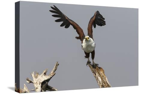African Fish Eagle (Haliaeetus Vocifer), Chobe National Park, Botswana, Africa-Ann & Steve Toon-Stretched Canvas Print