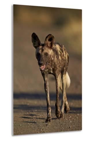 African Wild Dog (African Hunting Dog) (Cape Hunting Dog) (Lycaon Pictus) Running, Africa-James Hager-Metal Print