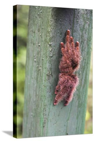 Tarantula, Amazon Rainforest, Coca, Ecuador, South America-Matthew Williams-Ellis-Stretched Canvas Print