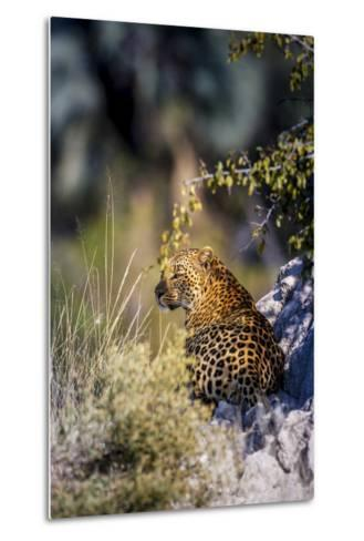 Leopard (Panthera Pardus) Resting on a Termite Mound, Moremi, Okavango Delta, Botswana, Africa-Andrew Sproule-Metal Print