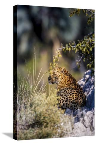 Leopard (Panthera Pardus) Resting on a Termite Mound, Moremi, Okavango Delta, Botswana, Africa-Andrew Sproule-Stretched Canvas Print