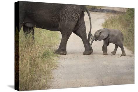 African Elephant, Queen Elizabeth National Park, Uganda, Africa-Janette Hill-Stretched Canvas Print
