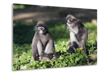 Dusky Langur Monkey (Trachypithecus Obscurus), Prachuap Kiri Khan, Thailand, Southeast Asia, Asia-Christian Kober-Metal Print