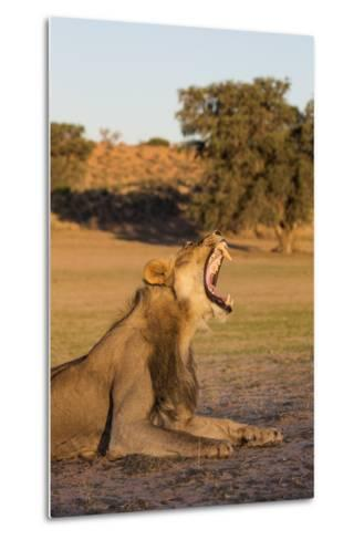 Male Lion (Panthera Leo) Yawning, Kgalagadi Transfrontier Park, Northern Cape, South Africa, Africa-Ann & Steve Toon-Metal Print