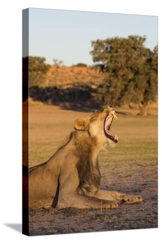 Male Lion (Panthera Leo) Yawning, Kgalagadi Transfrontier Park, Northern Cape, South Africa, Africa-Ann & Steve Toon-Stretched Canvas Print