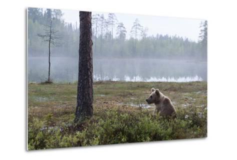 European Brown Bear (Ursus Arctos), Kuhmo, Finland, Scandinavia, Europe-Sergio Pitamitz-Metal Print