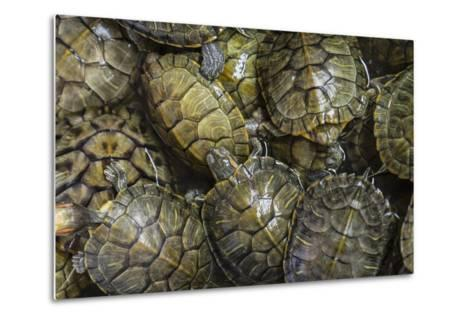 Terrapins at Market, Guilin, Guangxi, China, Asia-Janette Hill-Metal Print