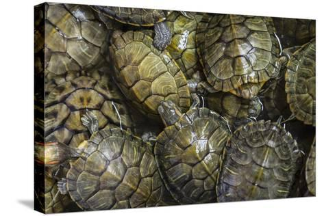 Terrapins at Market, Guilin, Guangxi, China, Asia-Janette Hill-Stretched Canvas Print