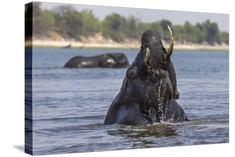 African Elephant Bull (Loxodonta Africana) Bathing in Chobe While Crossing River, Botswana, Africa-Ann & Steve Toon-Stretched Canvas Print