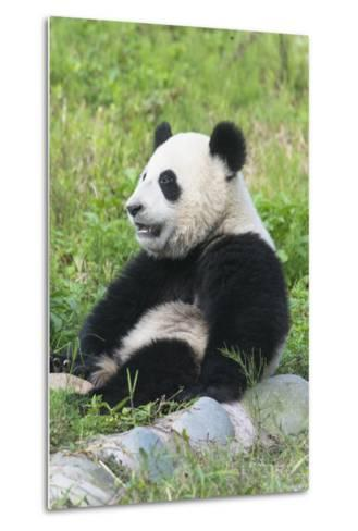 Two Year Old Young Giant Panda (Ailuropoda Melanoleuca), Chengdu, Sichuan, China, Asia-G&M Therin-Weise-Metal Print