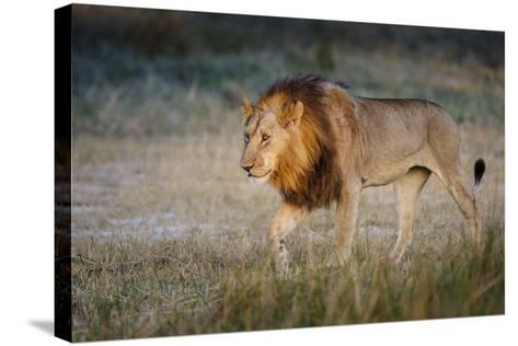 Male Lion (Panthera Leo), Moremi, Okavango Delta, Botswana, Africa-Andrew Sproule-Stretched Canvas Print