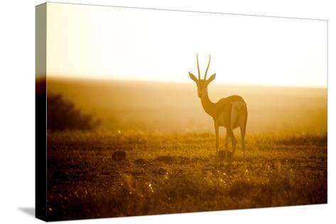 Springbok at Sunset, Kenya, East Africa, Africa-John Alexander-Stretched Canvas Print