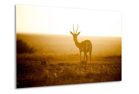 Springbok at Sunset, Kenya, East Africa, Africa-John Alexander-Metal Print