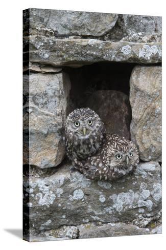 Little Owls (Athene Noctua) Perched in Stone Barn, Captive, United Kingdom, Europe-Ann & Steve Toon-Stretched Canvas Print