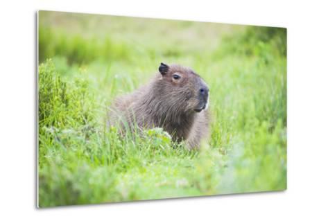 Capybara (Hydrochoerus Hydrochaeris), a Marshland Area in Corrientes Province, Argentina-Matthew Williams-Ellis-Metal Print