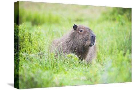Capybara (Hydrochoerus Hydrochaeris), a Marshland Area in Corrientes Province, Argentina-Matthew Williams-Ellis-Stretched Canvas Print