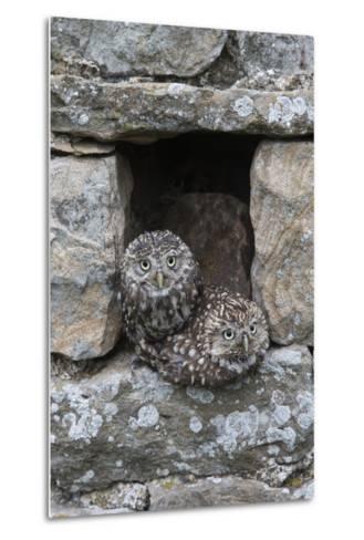 Little Owls (Athene Noctua) Perched in Stone Barn, Captive, United Kingdom, Europe-Ann & Steve Toon-Metal Print