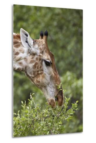 Cape Giraffe (Giraffa Camelopardalis Giraffa) Feeding, Kruger National Park, South Africa, Africa-James Hager-Metal Print