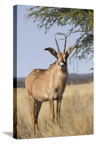 Roan Antelope (Hippotragus Equinus), Mokala National Park, South Africa, Africa-Ann & Steve Toon-Stretched Canvas Print