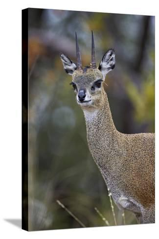Klipspringer (Oreotragus Oreotragus) Male, Kruger National Park, South Africa, Africa-James Hager-Stretched Canvas Print