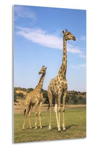 Giraffe (Giraffa Camelopardalis) with Young, Kgalagadi Transfrontier Park, Northern Cape, Africa-Ann & Steve Toon-Metal Print